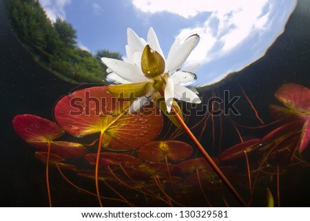 Freshwater ponds and lakes throughout New England support plenty of flora and fauna, including plenty of lilies. - stock photo