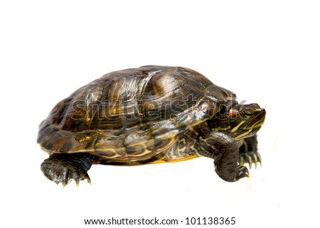 Freshwater red-eared turtle. (Trachemys scripta) Pond slider isolated on white