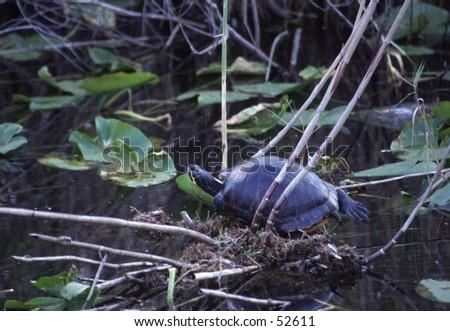 Freshwater turtle - stock photo