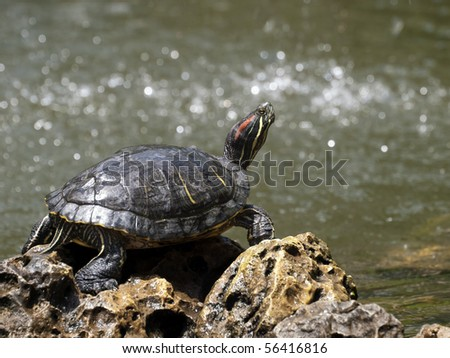 Freshwater turtle basking in the sun in a garden pond