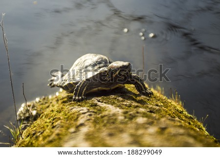 Freshwater turtle resting on a tree - stock photo