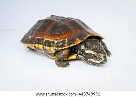 Freshwater turtles on white background