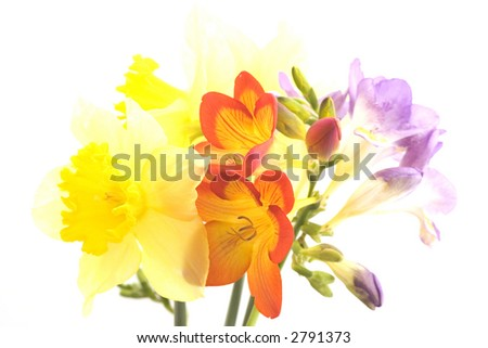 Fresias and daffodils - stock photo