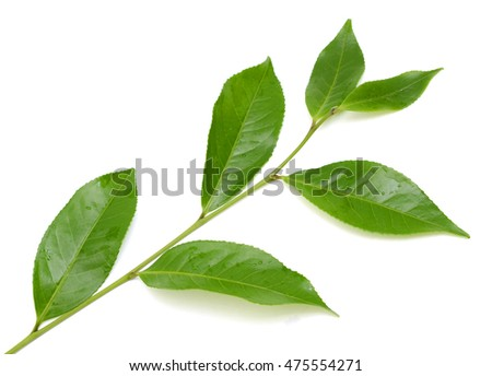 Fressh Green Camellia sinensis leaves (green tea) isolated on white background