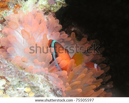 friendly clownfish - stock photo