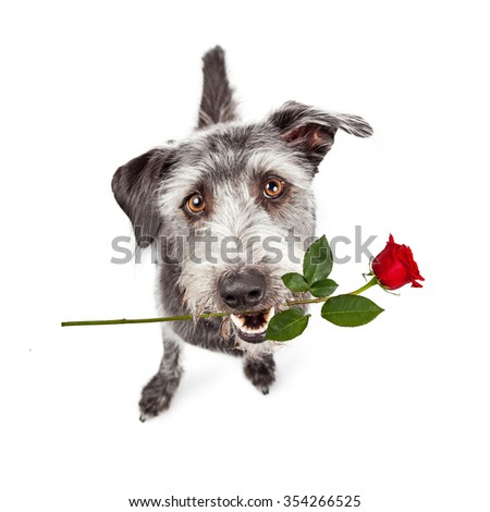 Friendly crossbreed dog sitting and looking up with a cute expression and a single red rose in his mouth - stock photo