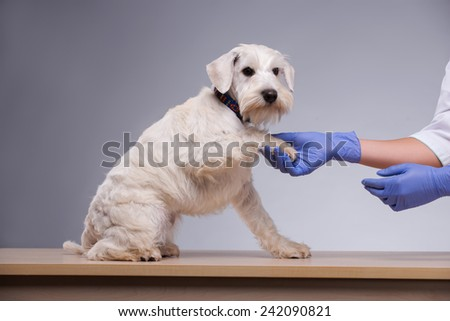 Friendly cute guy. A cropped image of little terrier dog giving a paw to a vet in medical gloves while standing against grey background - stock photo