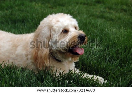 Friendly dog lying on a lawn - stock photo