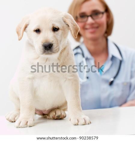 Friendly female veterinary and beautiful labrador puppy - stock photo