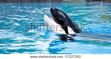 Friendly Killer Whale - stock photo
