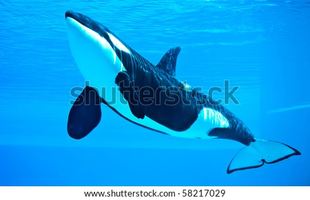friendly killer whale, orca - stock photo