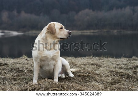 Friendly labrador retriever during dogs training sitting on autumn grass and looking. Autumn time and park scene with nature landscape - stock photo