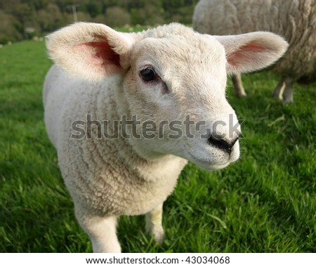 Friendly Lamb, Close up Detail - stock photo