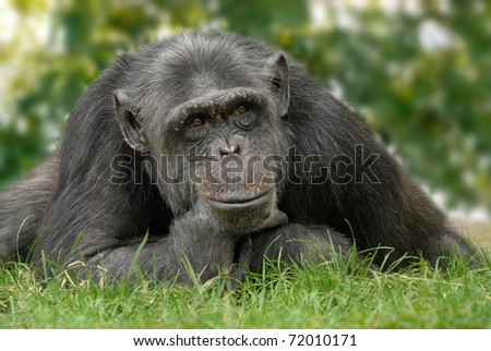 Friendly looking chimpanzee sitting on a meadow and holding his chin in a human way - stock photo