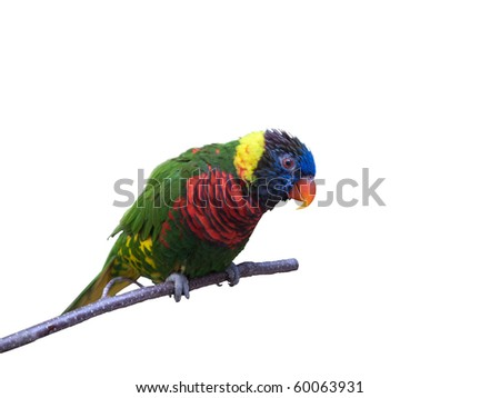 Friendly parrot sitting on branch on pure white background
