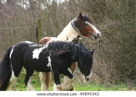 friendship - Irish Cob / Tinker stallions - stock photo