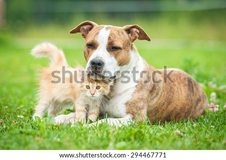 Friendship of american staffordshire terrier dog with little kitten - stock photo