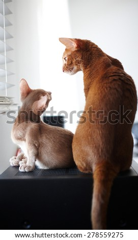 Friendship of two beautiful red cats - stock photo