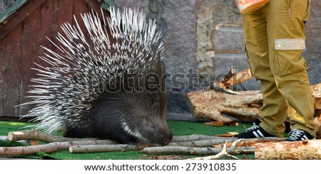 Friendship. Porcupine (focus on face) - stock photo
