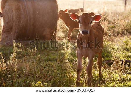 Friesen dairy cow calf standing in grass - stock photo