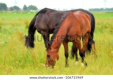 Friesian and racehorse - stock photo