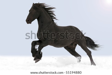 Friesian black horse - stock photo