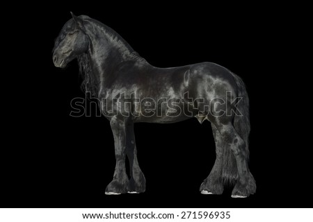 Friesian black horse isolated on the black background
