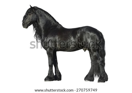 Friesian black horse isolated on the white background - stock photo