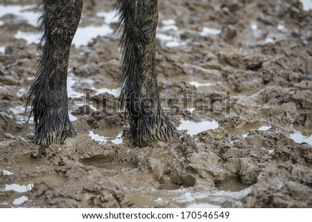 Friesian colt stands in a muddy field - stock photo