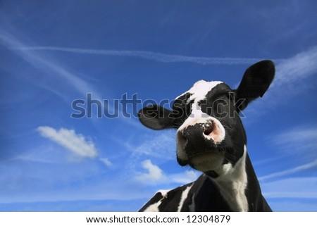 Friesian Cow head shot against blue sky - stock photo
