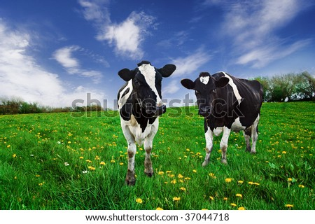 Friesian Dairy cows in a pasture. - stock photo