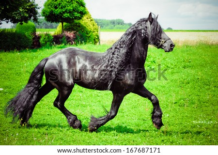 Friesian horse - stock photo