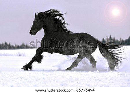Friesian horse gallop in winter - stock photo