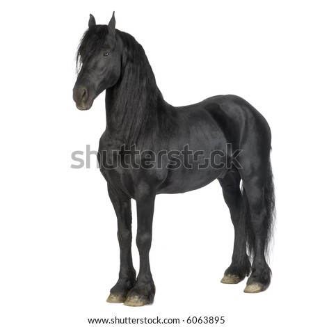 Friesian horse in front of a white background