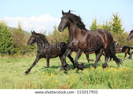 Friesian horse mare with foal running in autumn - stock photo