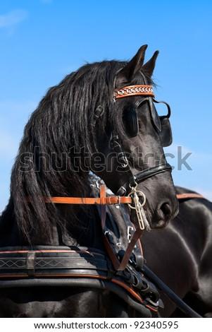 Friesian horse (portrait) - stock photo