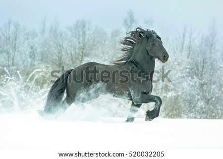Friesian horse running free in winter landscape.