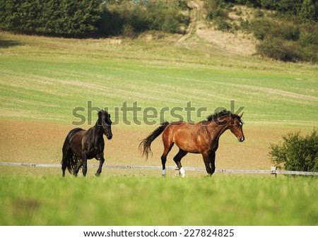 friesian horse stallion and chestnut horse running in nature