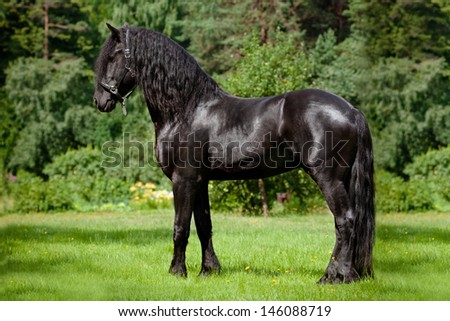 Friesian horse standing on a green field - stock photo