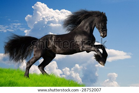 friesian stallion gallop in summer - stock photo