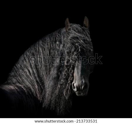 friesian stallion on black - stock photo