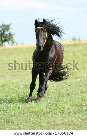 Friesian stallion running