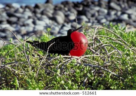 Frigate Bird - Galapagos Islands - stock photo