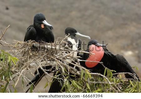 Frigate Birds - stock photo