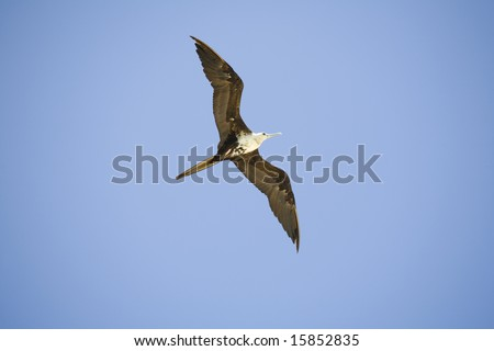 Frigate flying overhead in Sian Ka'an biosphere - stock photo