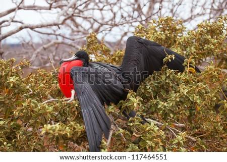 Frigatebird male, North Seymour Island breeding colony, Galapagos - stock photo