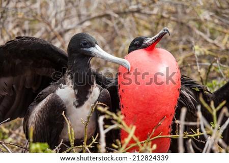 frigatebird on breeding season in galapagos - stock photo