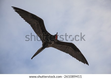 Frigates flying in the Galapagos Island - stock photo
