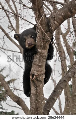 Frightened American Black Bear (Ursus americanus) Cub Hangs in Tree - captive animal - stock photo
