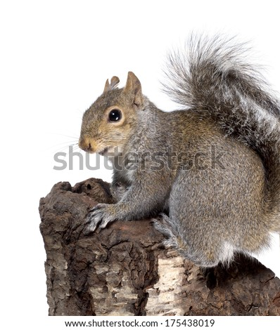 Frightened American gray squirrel on a stump - stock photo